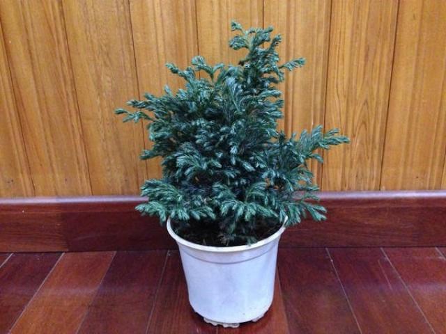 Cây Tuyết Tùng - Ý nghĩa phong thủy, công dụng và cách chăm sóc