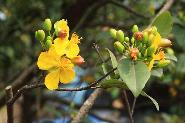 Mai Tứ Quý: Cách trồng và chăm sóc cây nở hoa đẹp vào dịp Tết - 3