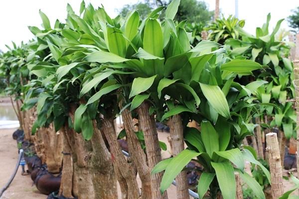 12 loại cây phong thủy theo tuổi, mệnh mang lại tài lộc và sức khỏe - 6
