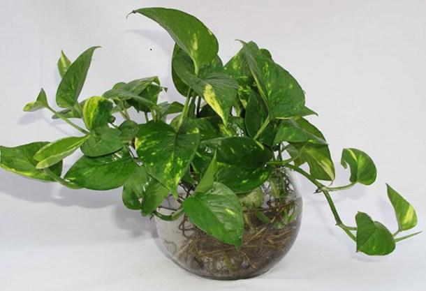 15+ Cây trồng trong nhà tốt nhất cho sức khỏe và phong thủy - 18