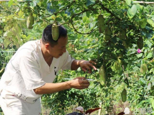 Nhớ quả mọc dại thuở nhỏ, người đàn ông đem về trồng sắp giàu to