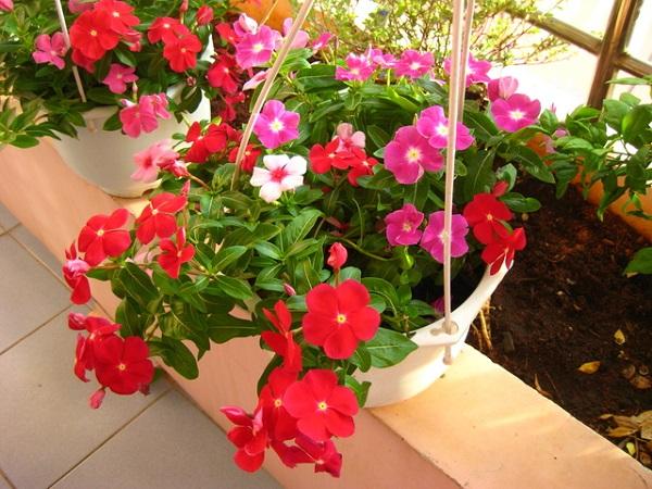 Top 10 cây trồng ban công đẹp chịu nắng, dễ trồng và chăm sóc - 10
