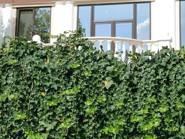 Top 10 cây trồng ban công đẹp chịu nắng, dễ trồng và chăm sóc - 9