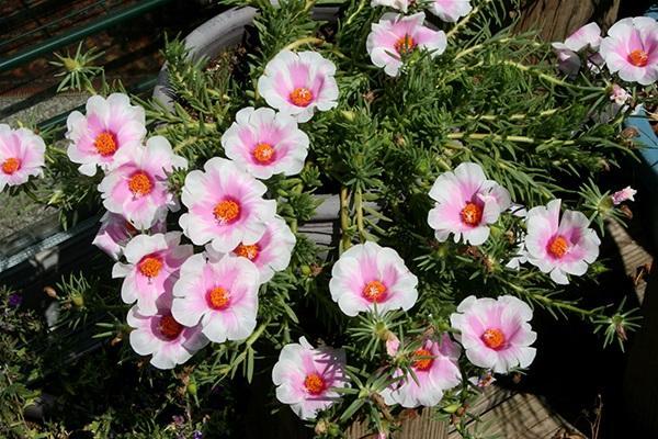 Top 10 cây trồng ban công đẹp chịu nắng, dễ trồng và chăm sóc - 4